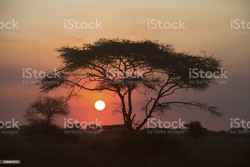 Acacia-tree sunset in the Serengeti Nationalpark stock photo