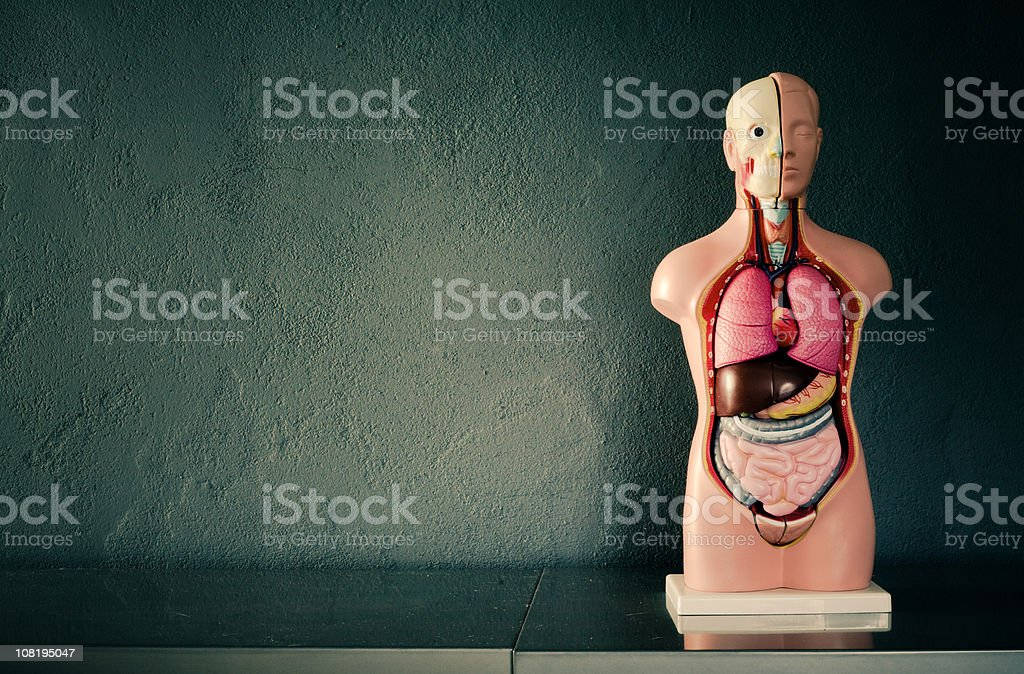 Academic Model of Human Body stock photo