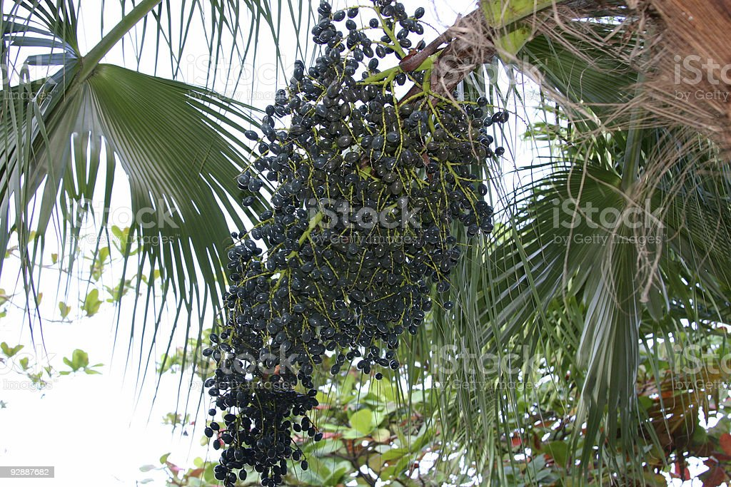 Acai berries royalty-free stock photo