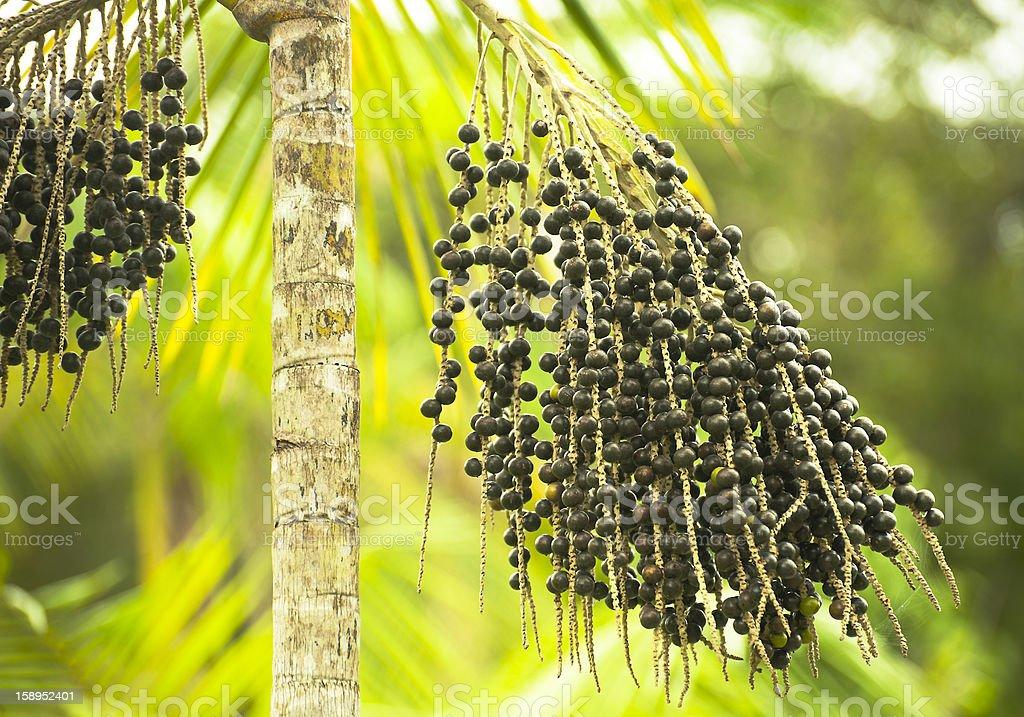 Acai Palm Euterpe Oleracea with black berries stock photo
