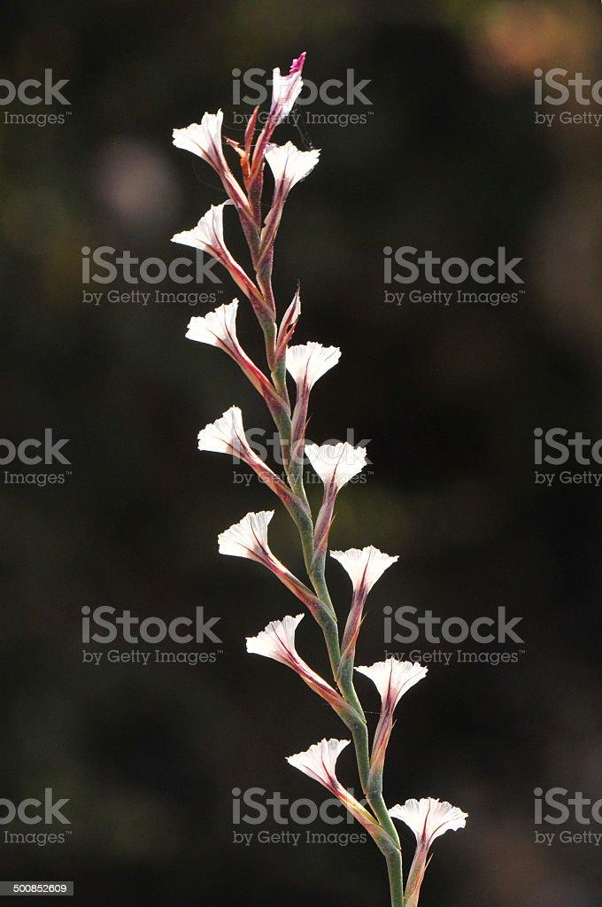 acantholimon acerosum stock photo