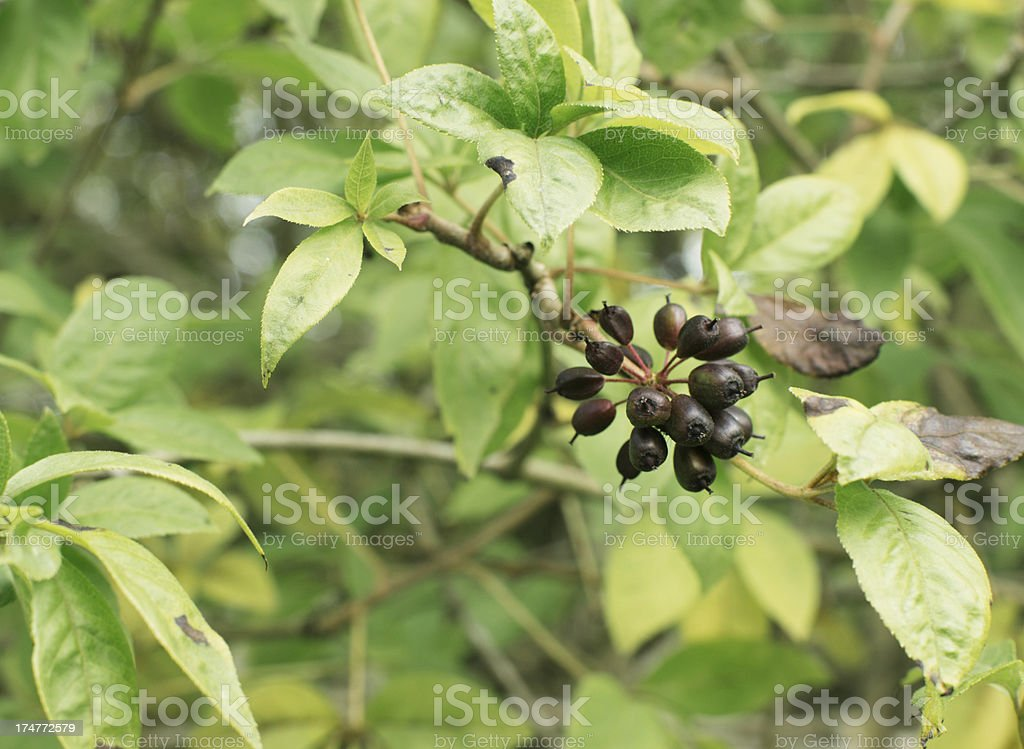 Acanthopanax Henryi plant for ginseng royalty-free stock photo