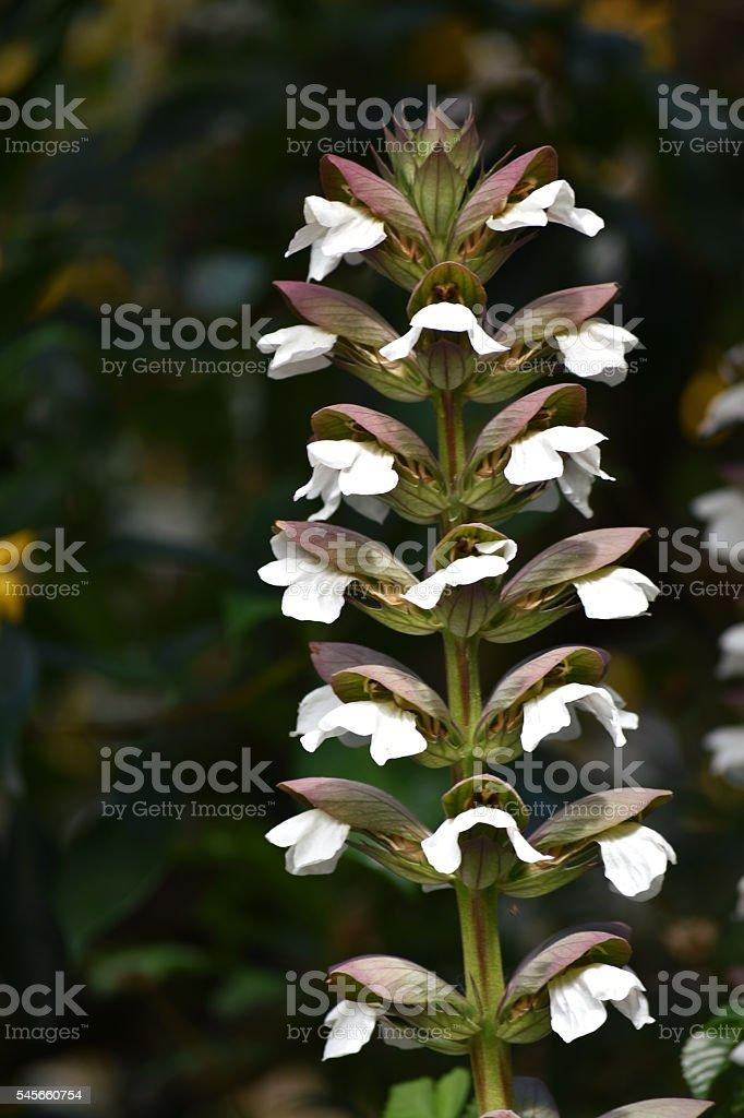Acanthus flower stock photo