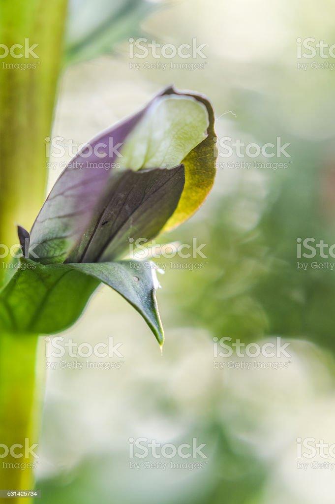 Acanthus flowering bud close up stock photo