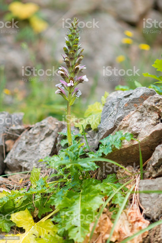 Acanthus hungaricus - plant and blossoms stock photo