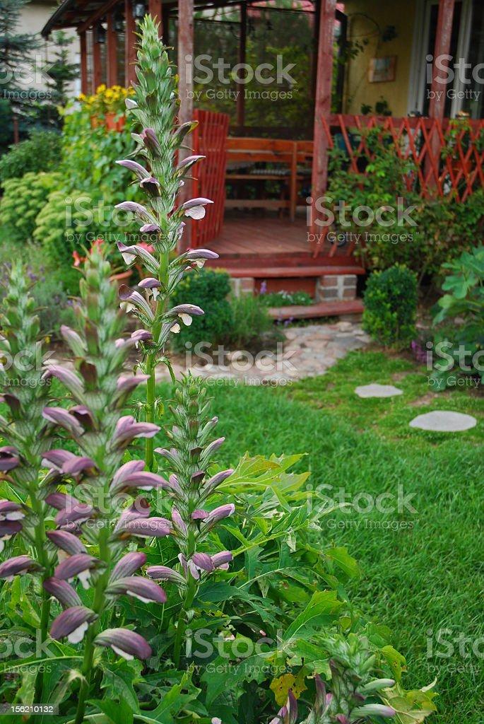 Acanthus in the garden stock photo