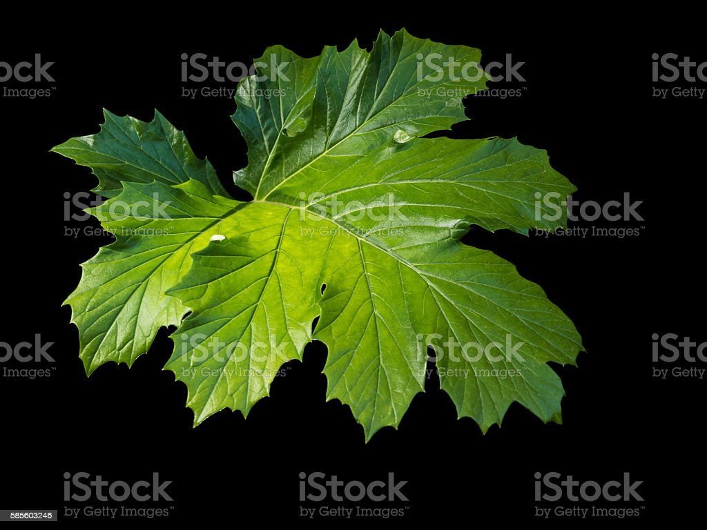 Acanthus Leaf (Bear's Breeches) Backlit. stock photo