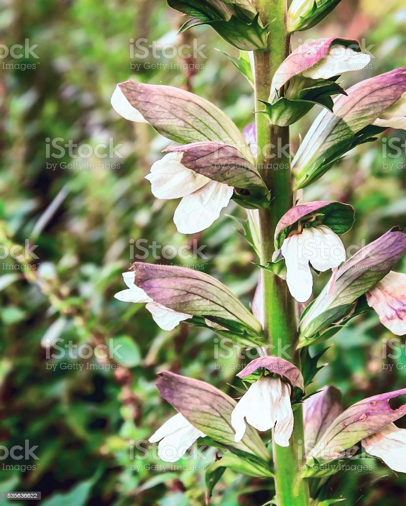 Acanthus mollis (Bear's Breech), Close-up stock photo