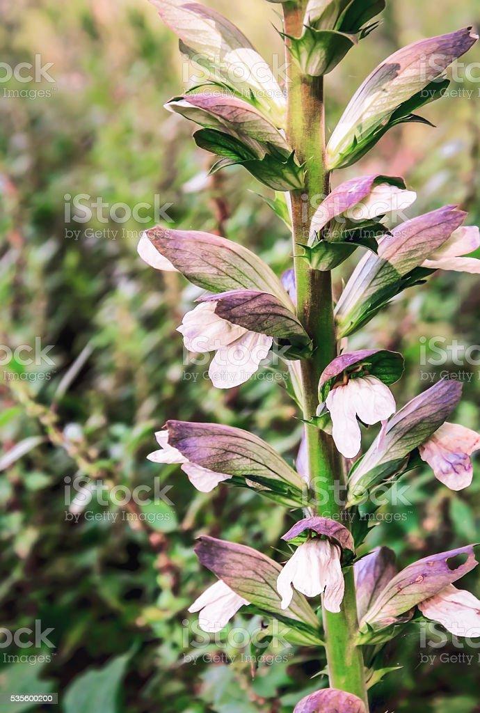 Acanthus mollis (Bear's Breech) stock photo