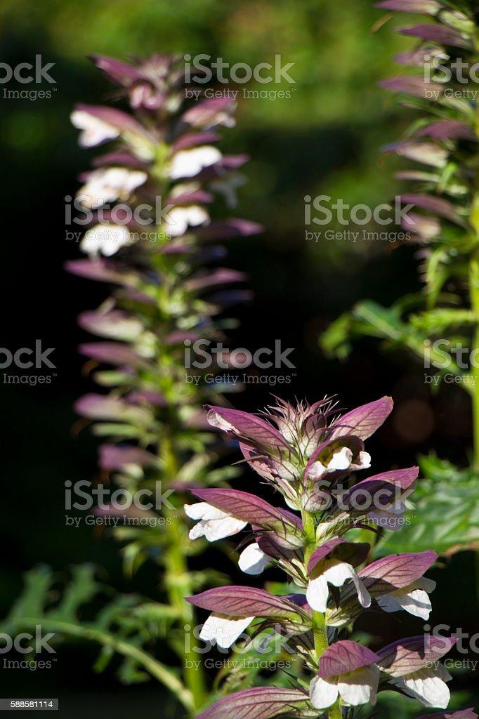 Acanthus spinosus stock photo