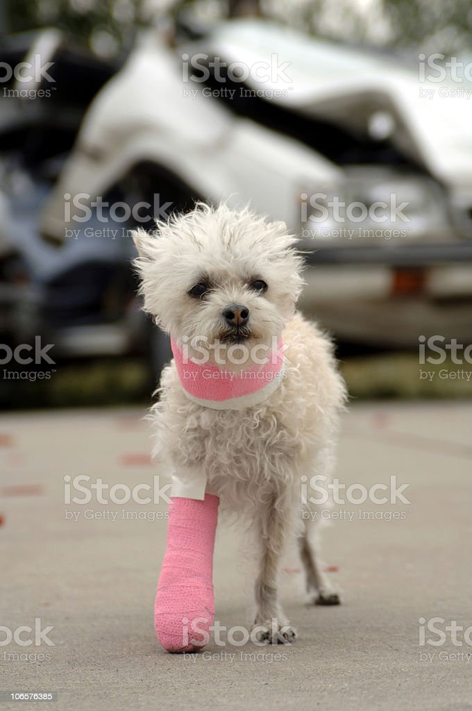 Accident Victim royalty-free stock photo