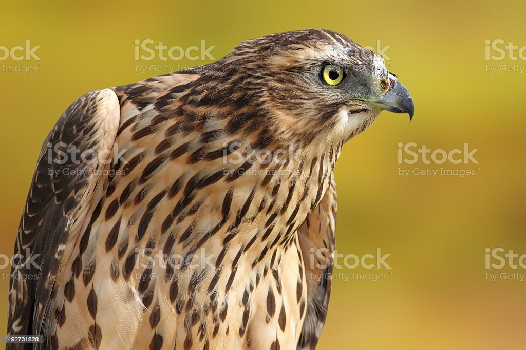 accipiter nisus over out of focus background stock photo