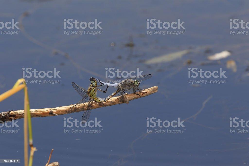 Accouplement de libellules anisoptères stock photo