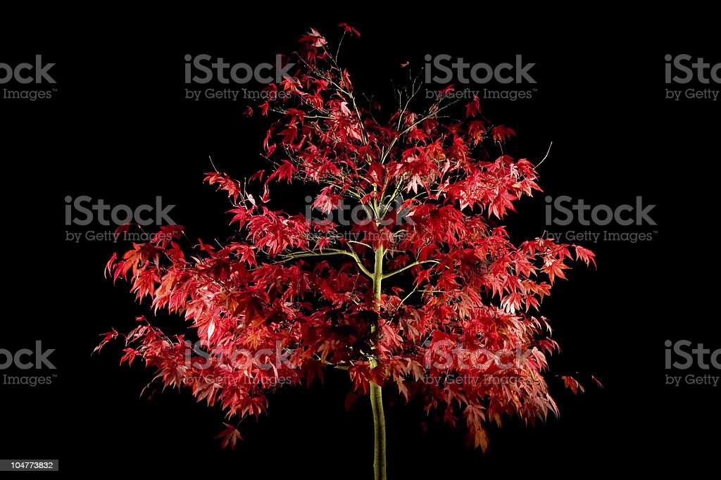 Acer at night royalty-free stock photo