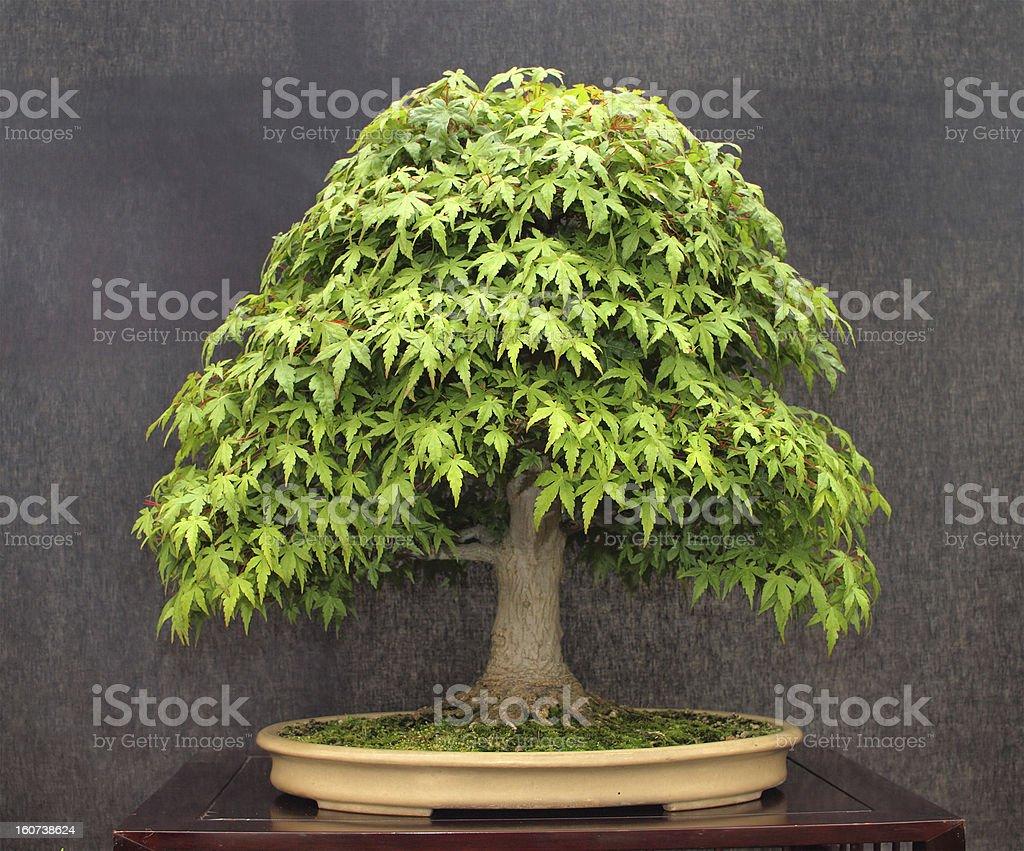 Acer Bonsai Tree royalty-free stock photo