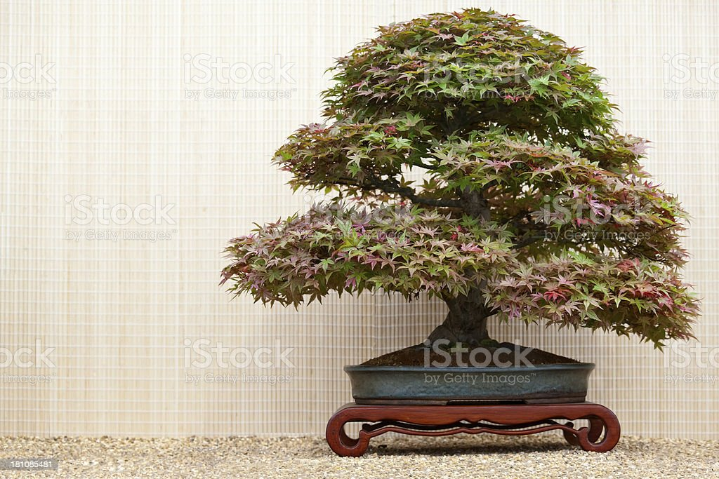 Acer Bonsai Tree royalty-free stock photo