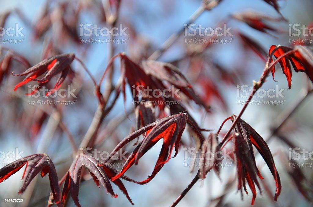Acer branches stock photo
