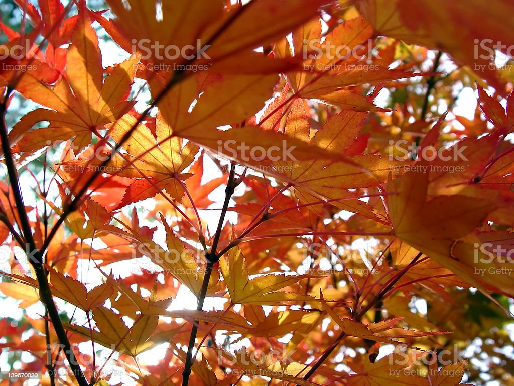 Acer in Autumn royalty-free stock photo