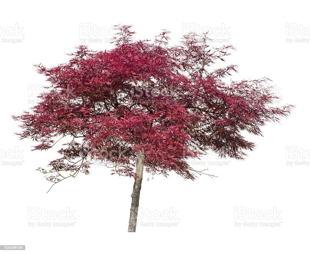 Acer, Japanese maple ornamental tree isolated on white. stock photo