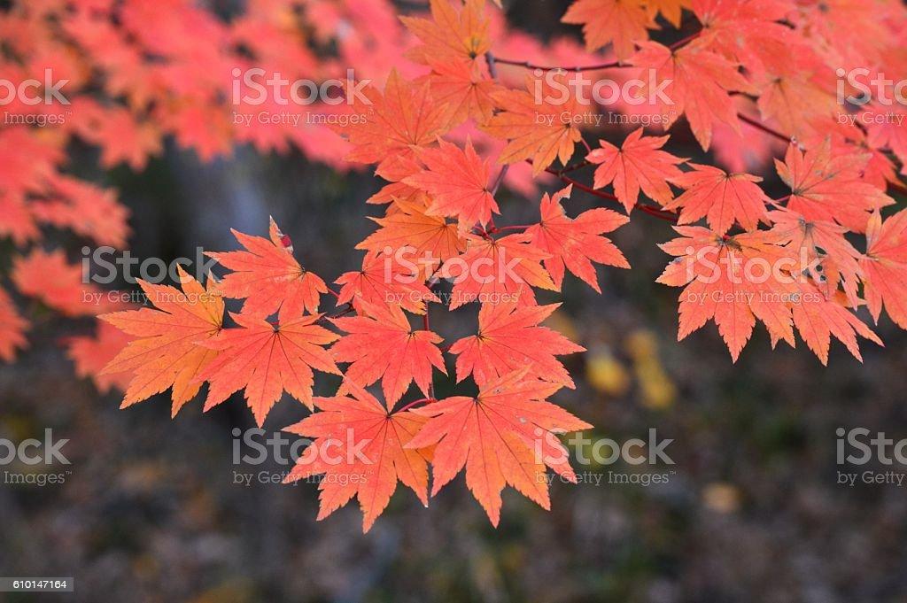 Acer japonicum stock photo