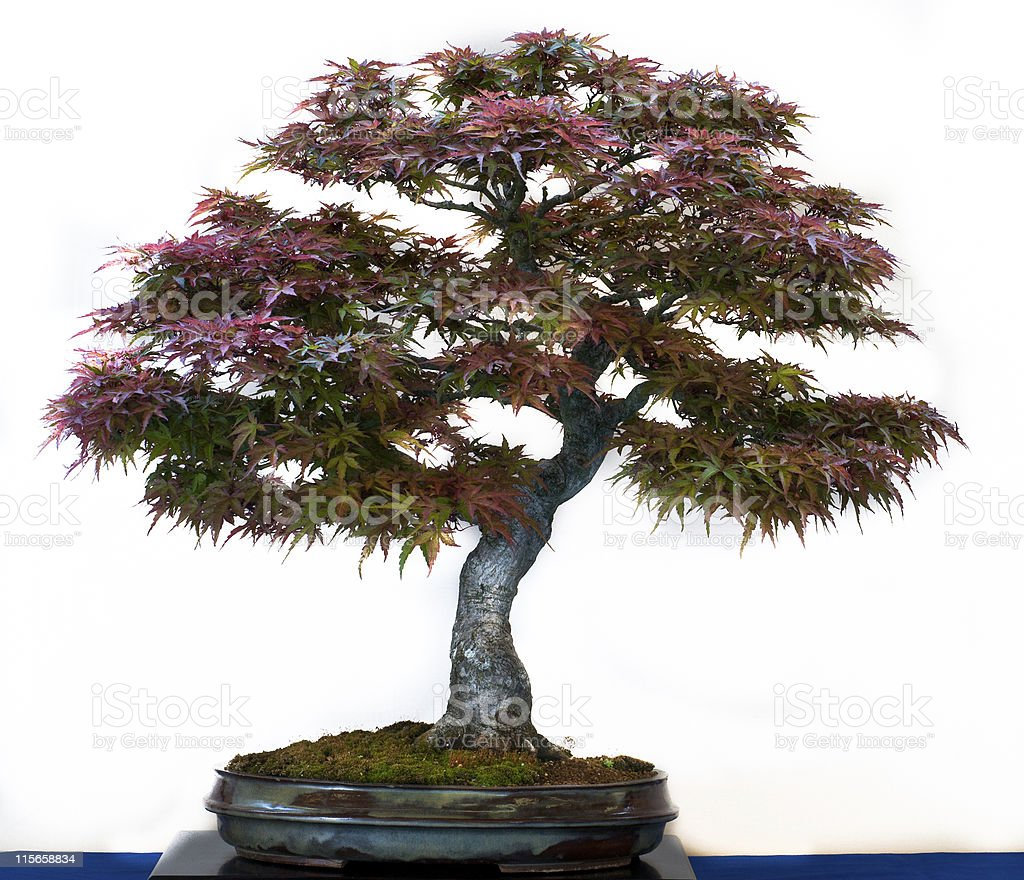 Acer palmatum as bonsai tree stock photo
