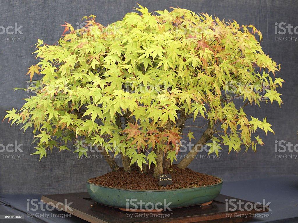 Acer Palmatum Bonsai Tree royalty-free stock photo
