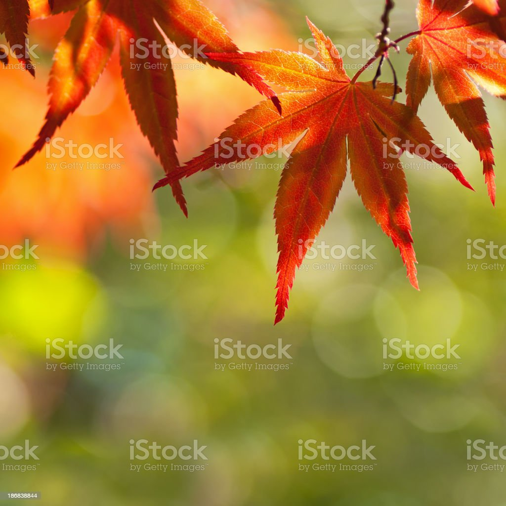 Acer Palmatum - Japanese Maple royalty-free stock photo