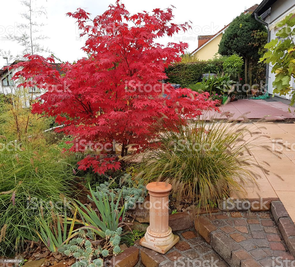 Acer, palmatum, Osakazuki, japonicum; Japanese stock photo