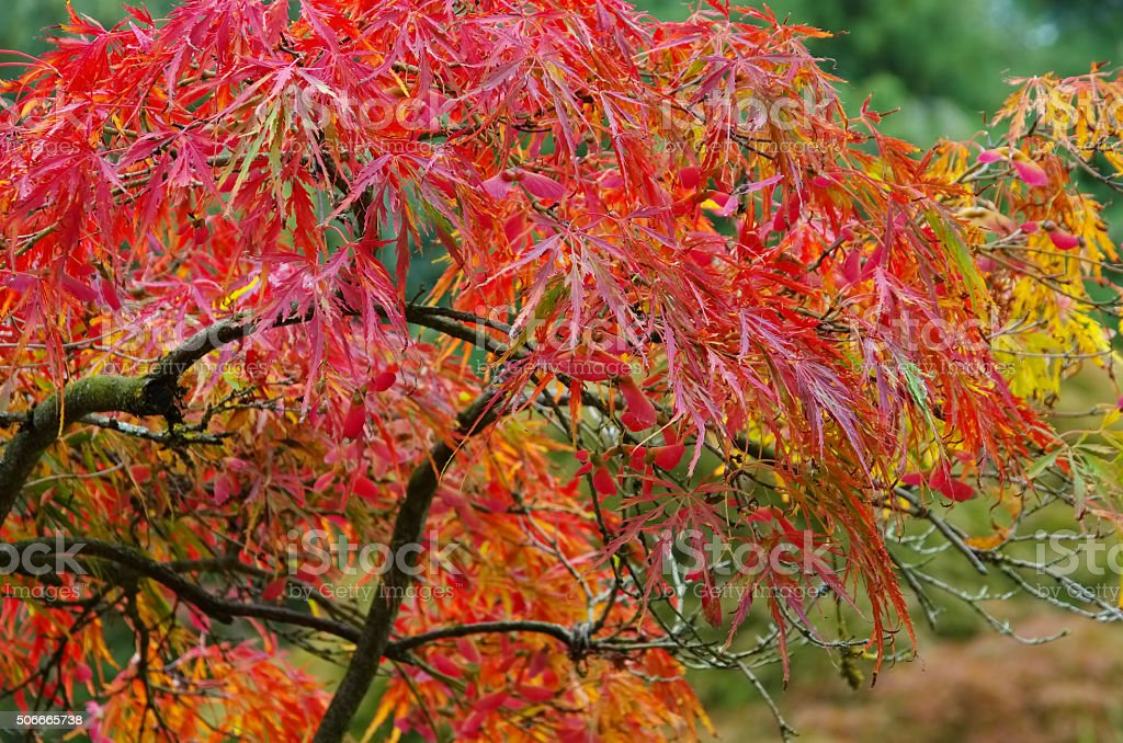 Acer palmatum stock photo