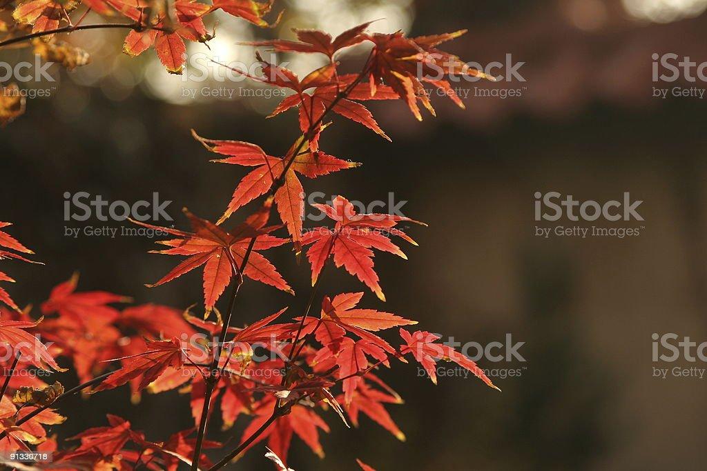 Acer palmatum royalty-free stock photo