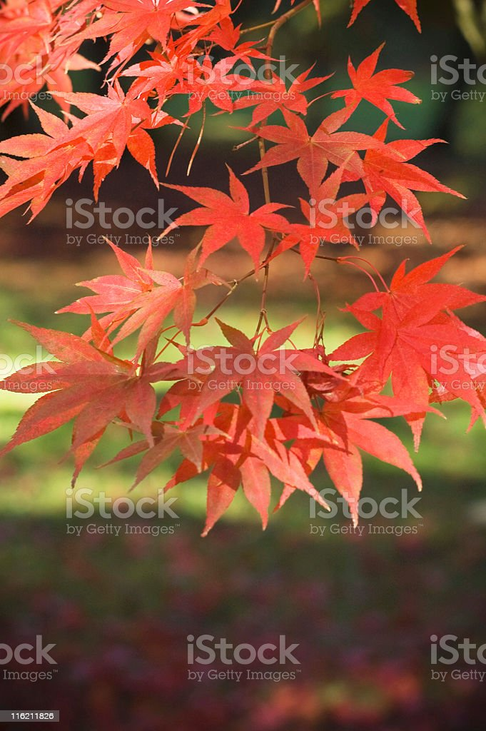 Acer scenic. royalty-free stock photo