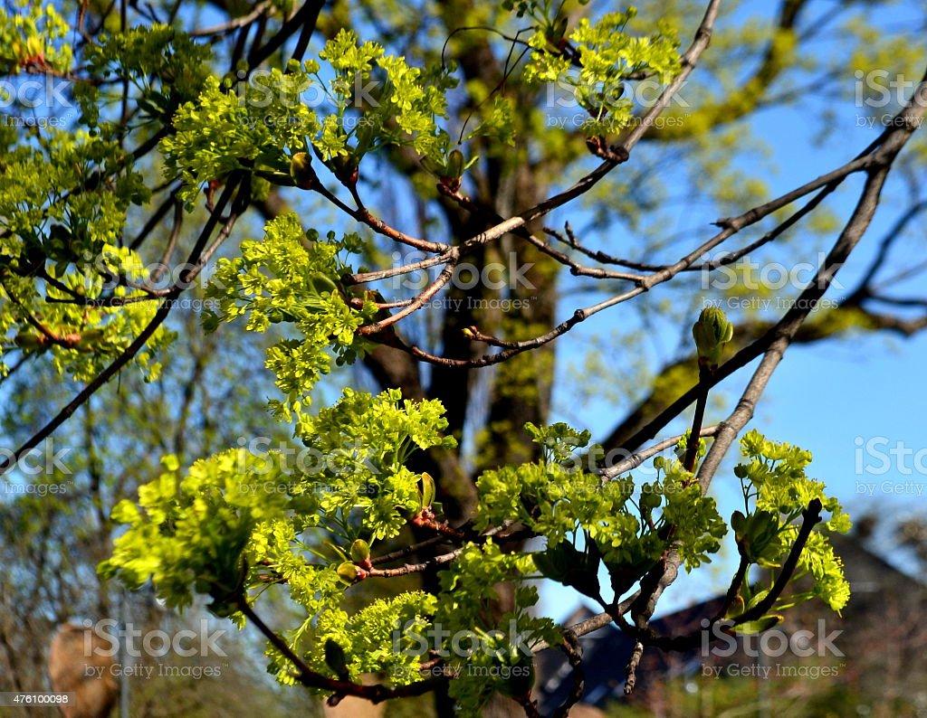 Acero platanoide - Acer platanoides stock photo
