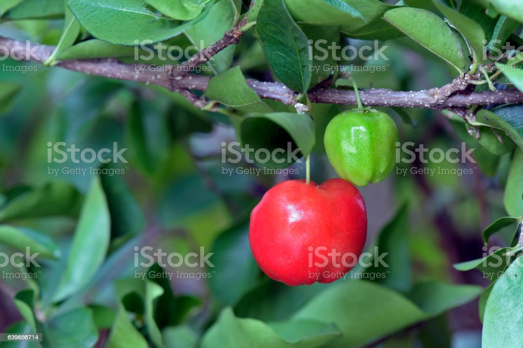 Acerola tree with fruits stock photo