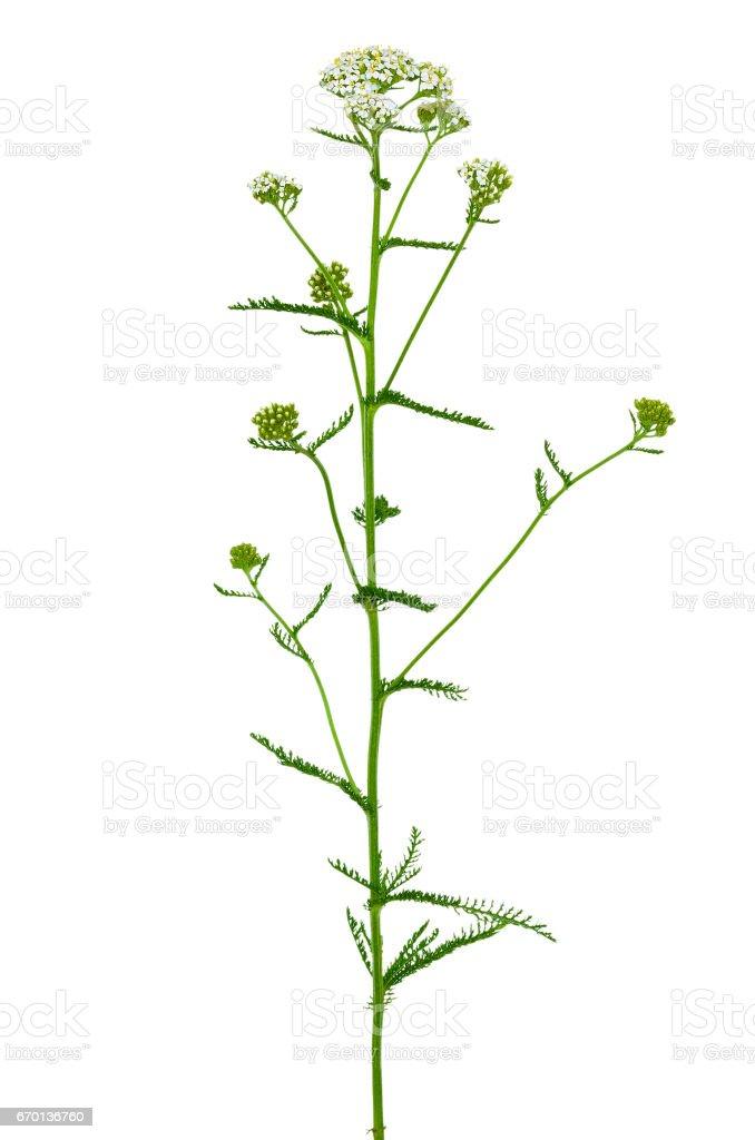Achillea millefolium flower stock photo