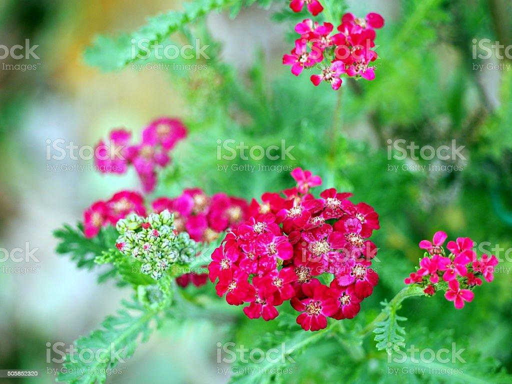 Achillea millefolium 'Red Velvet' stock photo