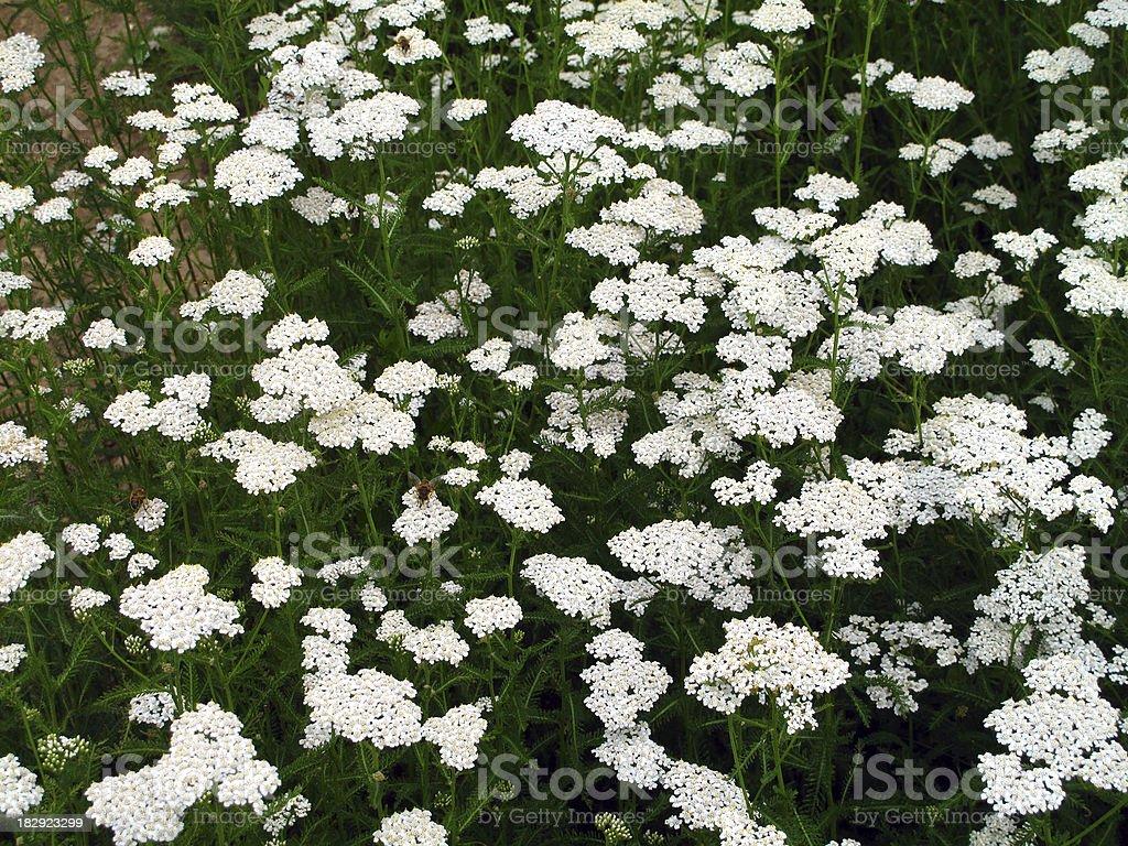 Achillea millefolium - Yarrow royalty-free stock photo