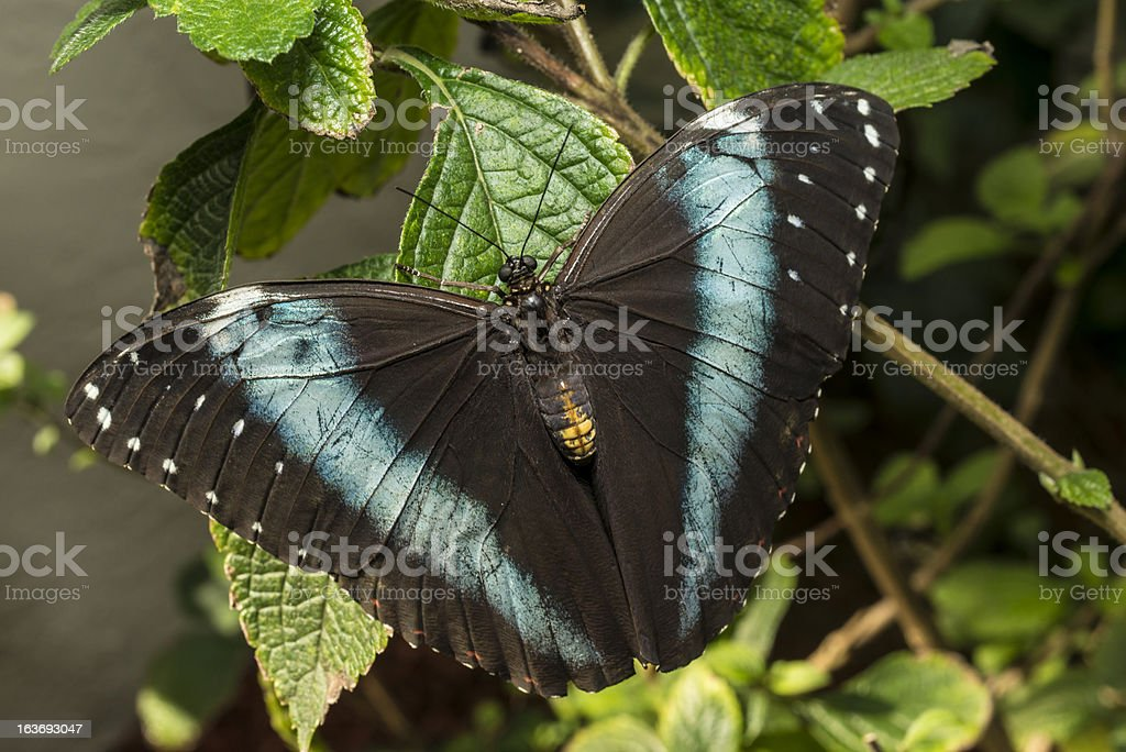 Achilles Blue-banded Morpho butterfly stock photo