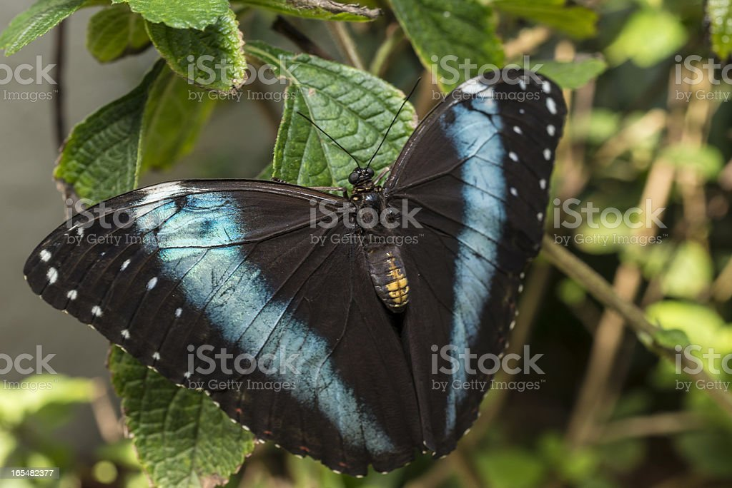 Achilles Morpho, Blue-banded butterfly stock photo