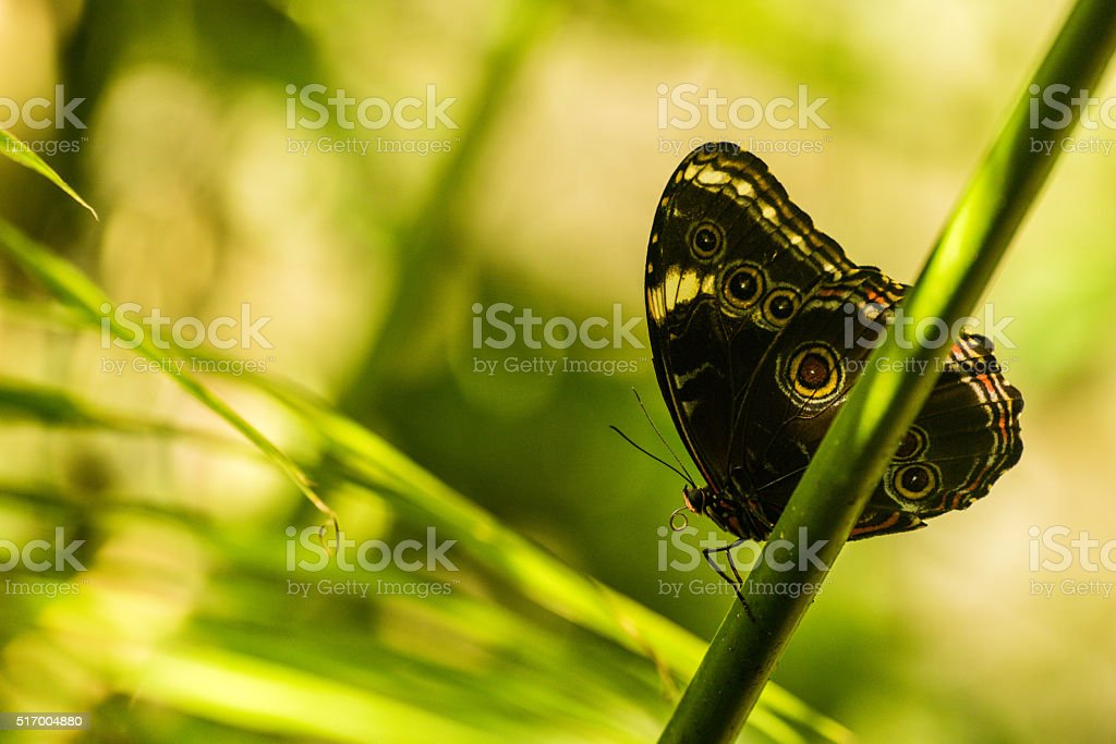 Achilles morpho butterfly on branch in sunshine stock photo
