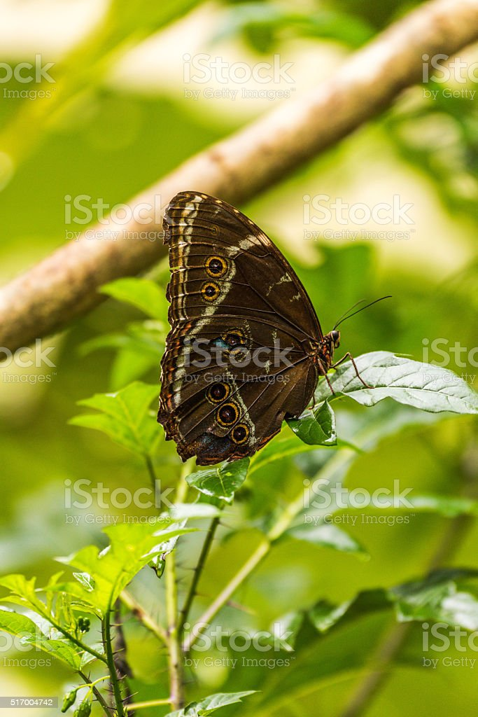 Achilles morpho butterfly perched on green leaf stock photo