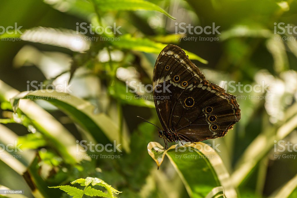 Achilles morpho butterfly perched on variegated leaf stock photo