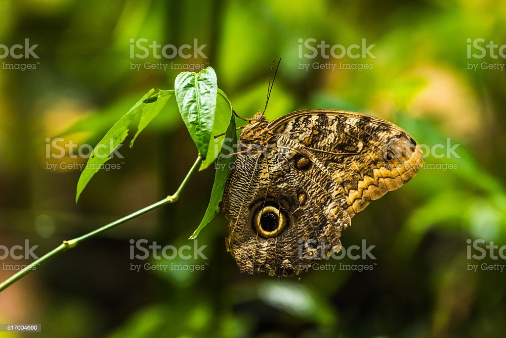 Achilles morpho butterfly perched vertically on leaf stock photo