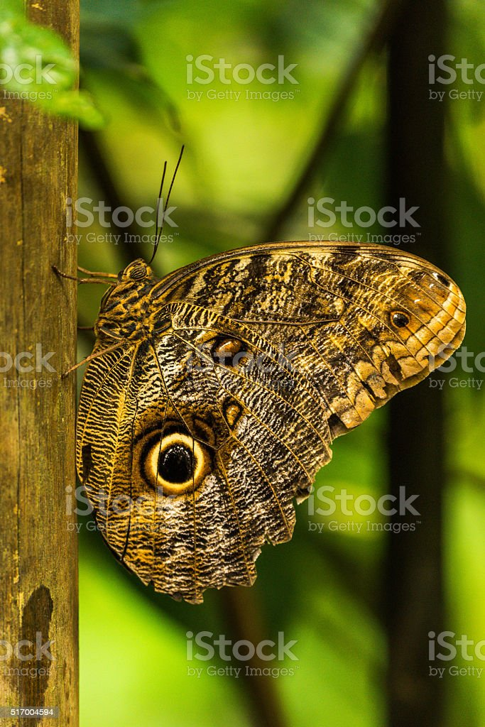 Achilles morpho perched vertically on wooden pole stock photo
