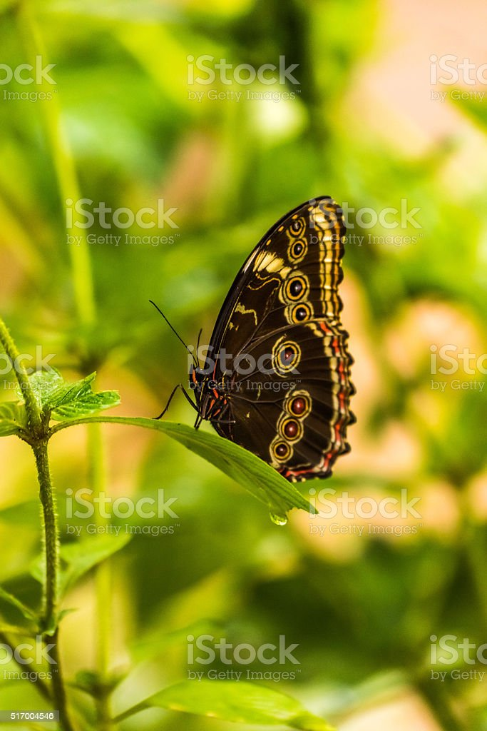 Achilles morpho with wings raised on leaf stock photo