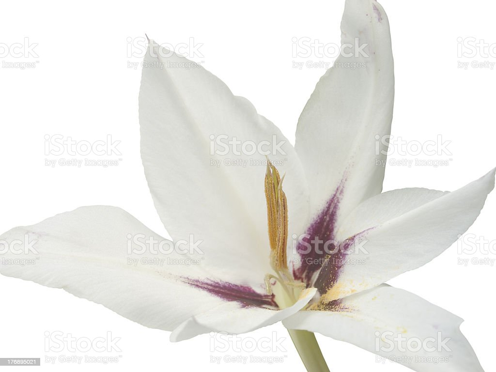 Acidanthera bicolor,  Gladiolus abyssinicus royalty-free stock photo