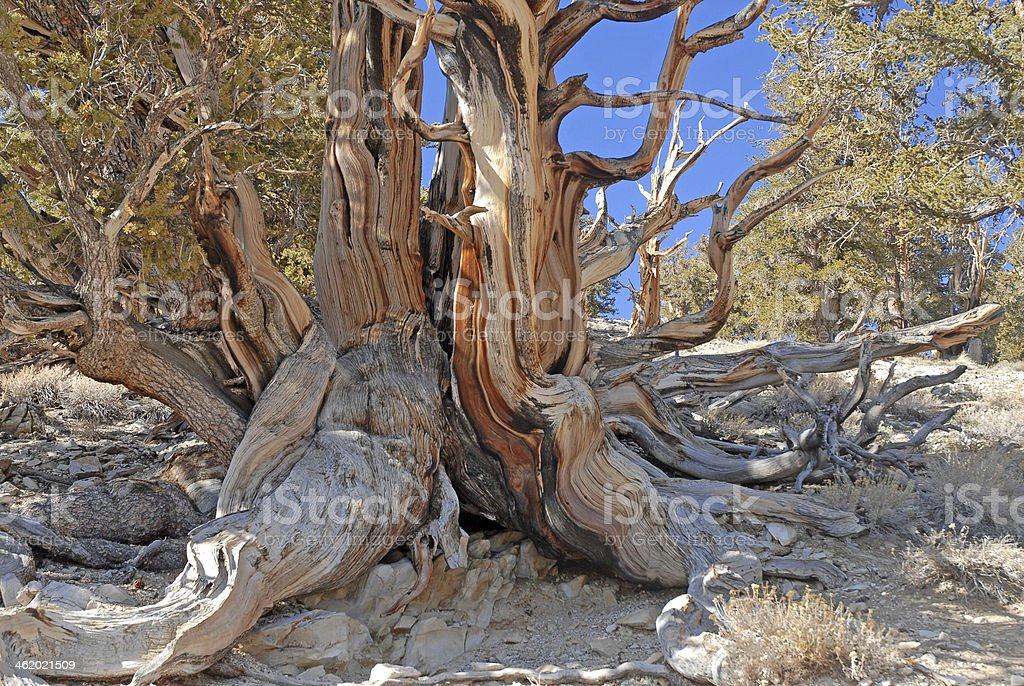 Acient Bristlecone Pine, White Mountains between Nevada and California stock photo
