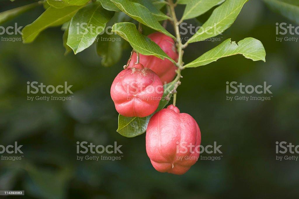 Ackee fruit royalty-free stock photo
