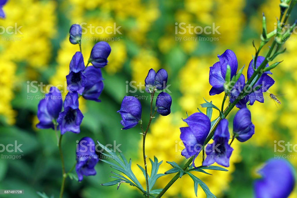 Aconite and dotted loosestrife stock photo