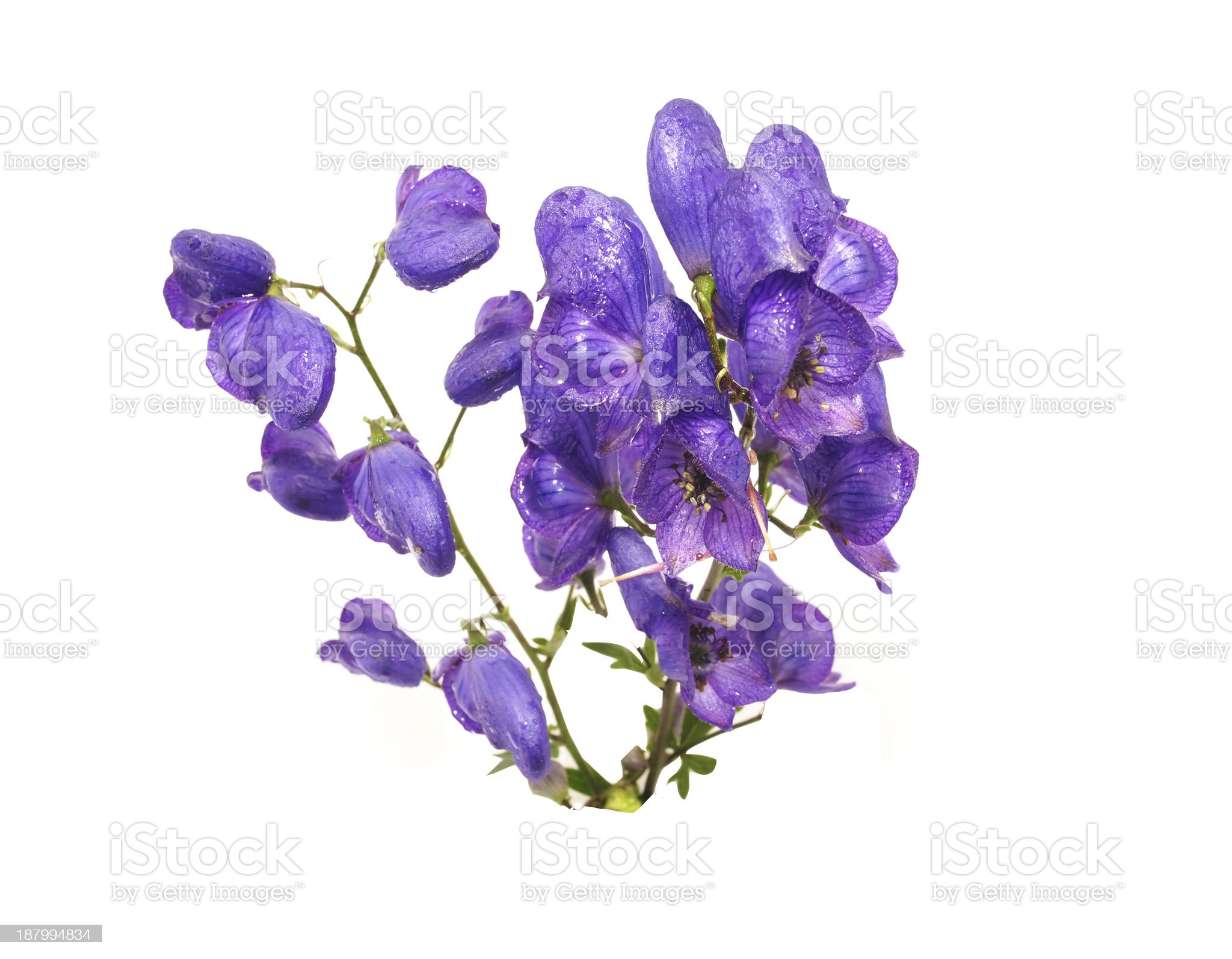 Aconitum napellus on a white background royalty-free stock photo