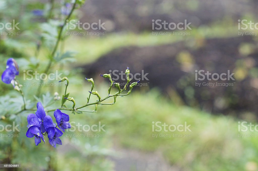 Aconitum napellus royalty-free stock photo